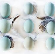 Auracuna Eggs - Blue