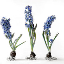 Blue Delft Hyacinths