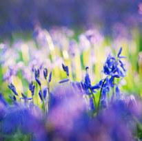 Savernake bluebells May21