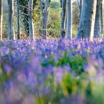Savernake Bluebells may 21