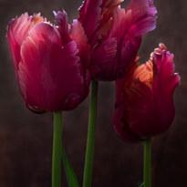 Blue Parrot Tulips