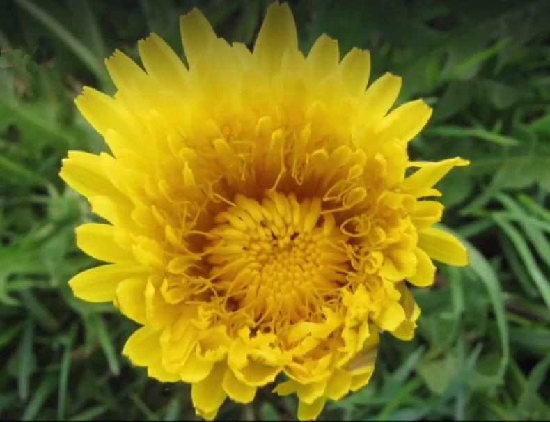 חרצית כריזנתמה צהובה וחצי פתוחה נראית על רקע של צמחייה ירוקה.