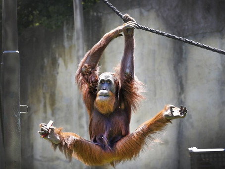 Orangutan Gym at the Melbourne Zoo