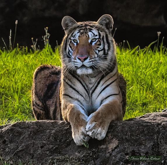 Tigre Cabarceno.jpg