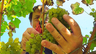 cosecha uva.jpg