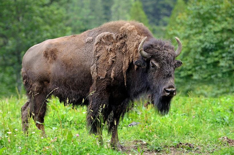 large-male-bison-forest.jpg