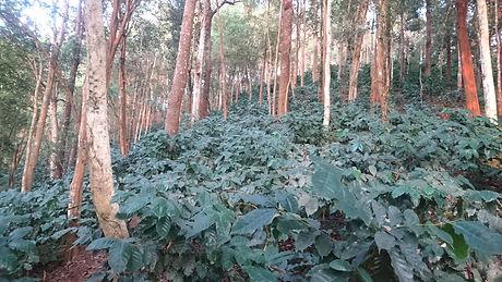 Schattenkaffeeplantage