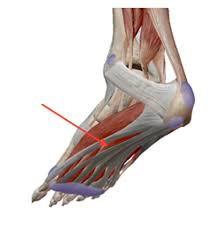【ITコラム】足のアーチと足底筋膜について