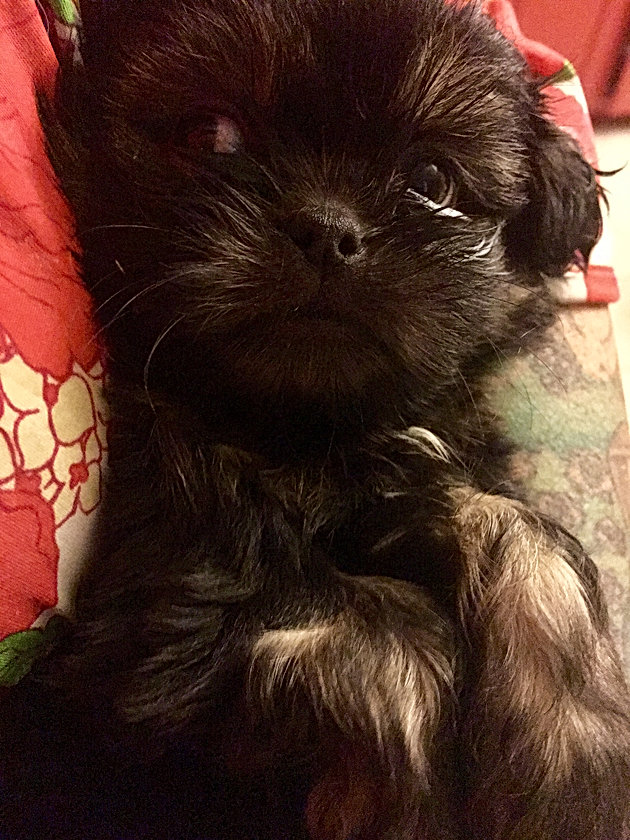 Available pups | Brooke's Lil' Shih Tzu's - San Antonio, TX