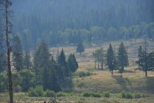 Yellowstone Black Wolf