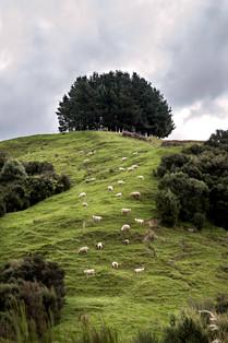 Sheep Square