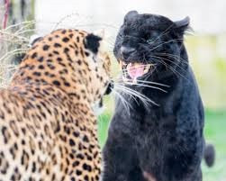 Image of 2 leopards confronting each other