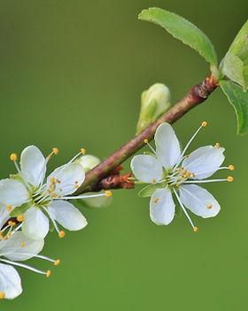 flowering-twig-319565_1920.jpg