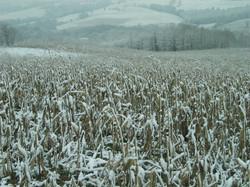 Maïs sous la neige