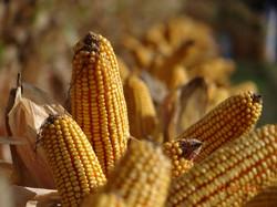 Alignement maïs