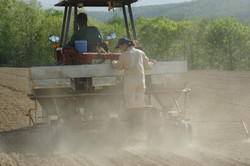 Late May, Sowing of sweet corn