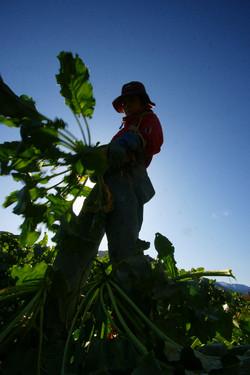 Mid-October, harvesting sugar beet