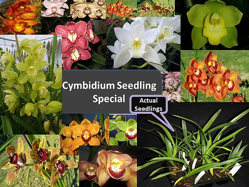 Cymbidium 6 pack Seedling tray