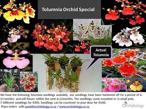 Tolumnia Orchid Special
