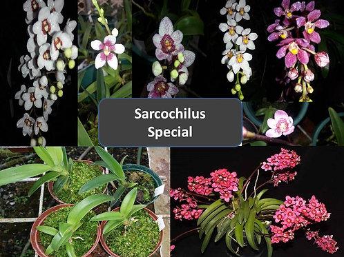 Miniature Sarcochilus Orchids