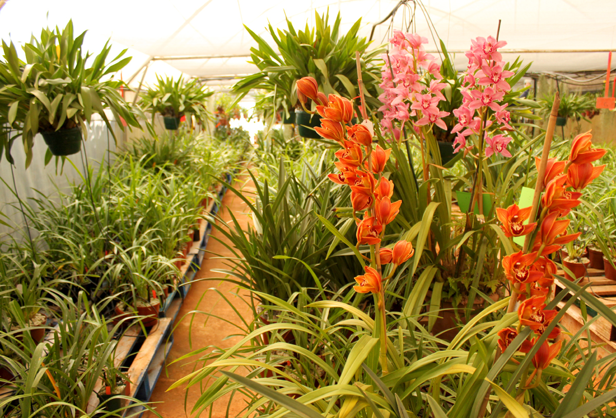 Cymbidium nursery
