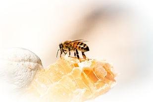 Worker (female) honeybee sucking nectar