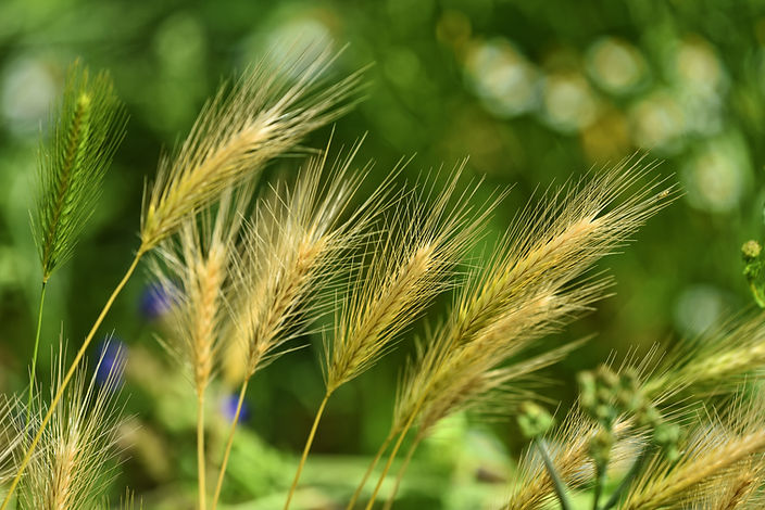 foxtail-barley-3471611.jpg