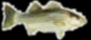 striper-big-fish.png