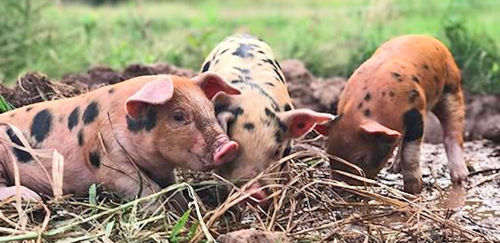 organic pigs and pork