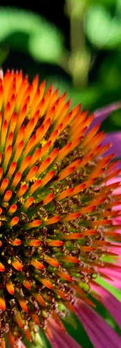 echinacea flower in full bloom from up close with intricate details in amstelpark