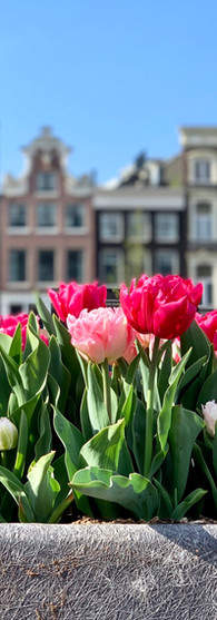 tulip festival in amsterdam with pink tulips at waterlooplein and canal houses in background