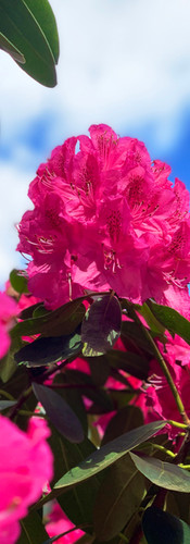 fuchsia rhododendron omhoog gezien in amstelpark