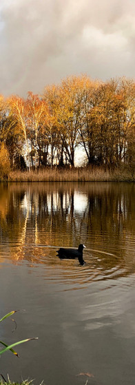 december afternoon in amstelpark with coot on the pond