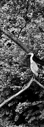 spotting a heron in amstelpark reiger op tak in amstelpark