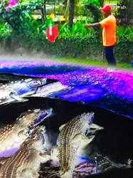 Making Aligators Great Again