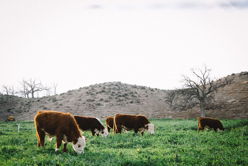 Agriculture/Cattle