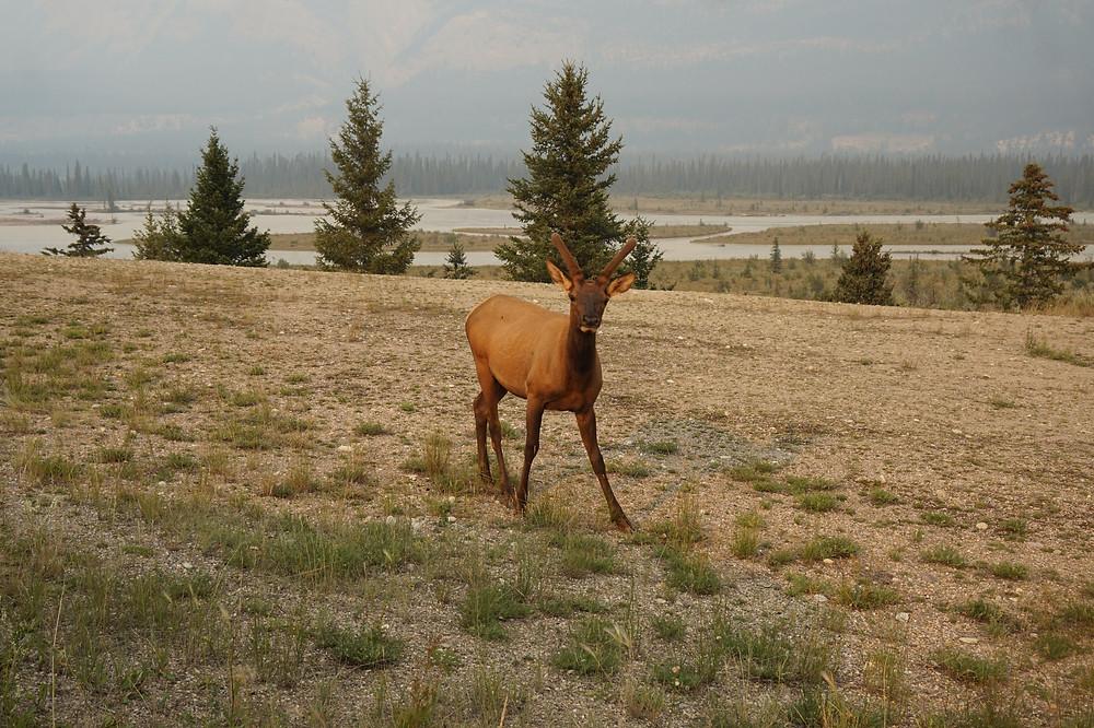 animales en Jasper