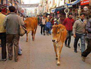 Svete krave iliti ono o čemu se ne govori