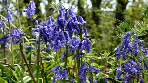 Blue Bells in the Wild