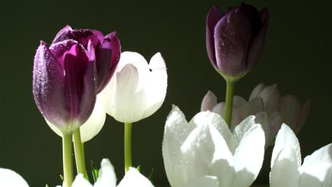 Tulip Bunch