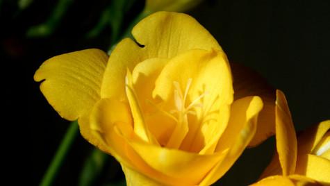 Yellow Fushia