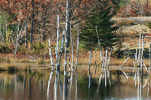 Beaver Pond-birches davis.jpg