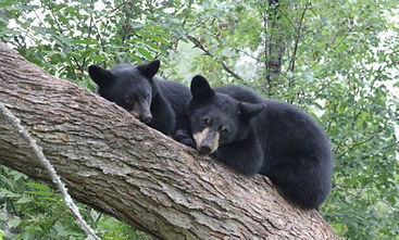 Brother Bears in a Tree anon.JPG