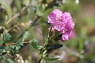 Bog laurel - Kalmia angustifolia davis.j