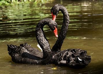 swan-3531856_1280.jpg