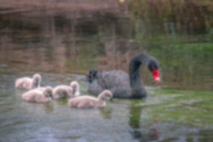 mourning-swan-4116983_1280.jpg