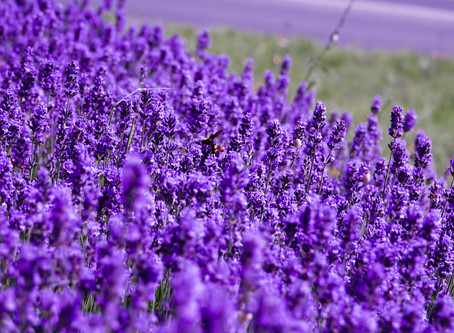 Lavender for Emotional Wellness