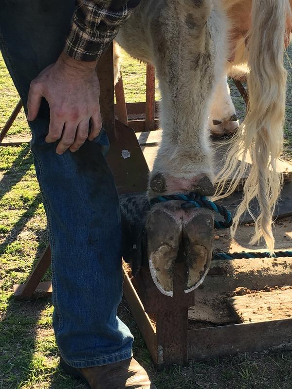 Cattle Trim