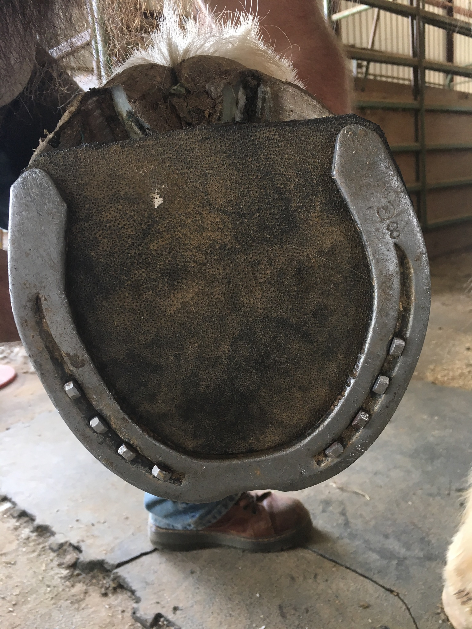 Shoe w/Pad on Draft Horse