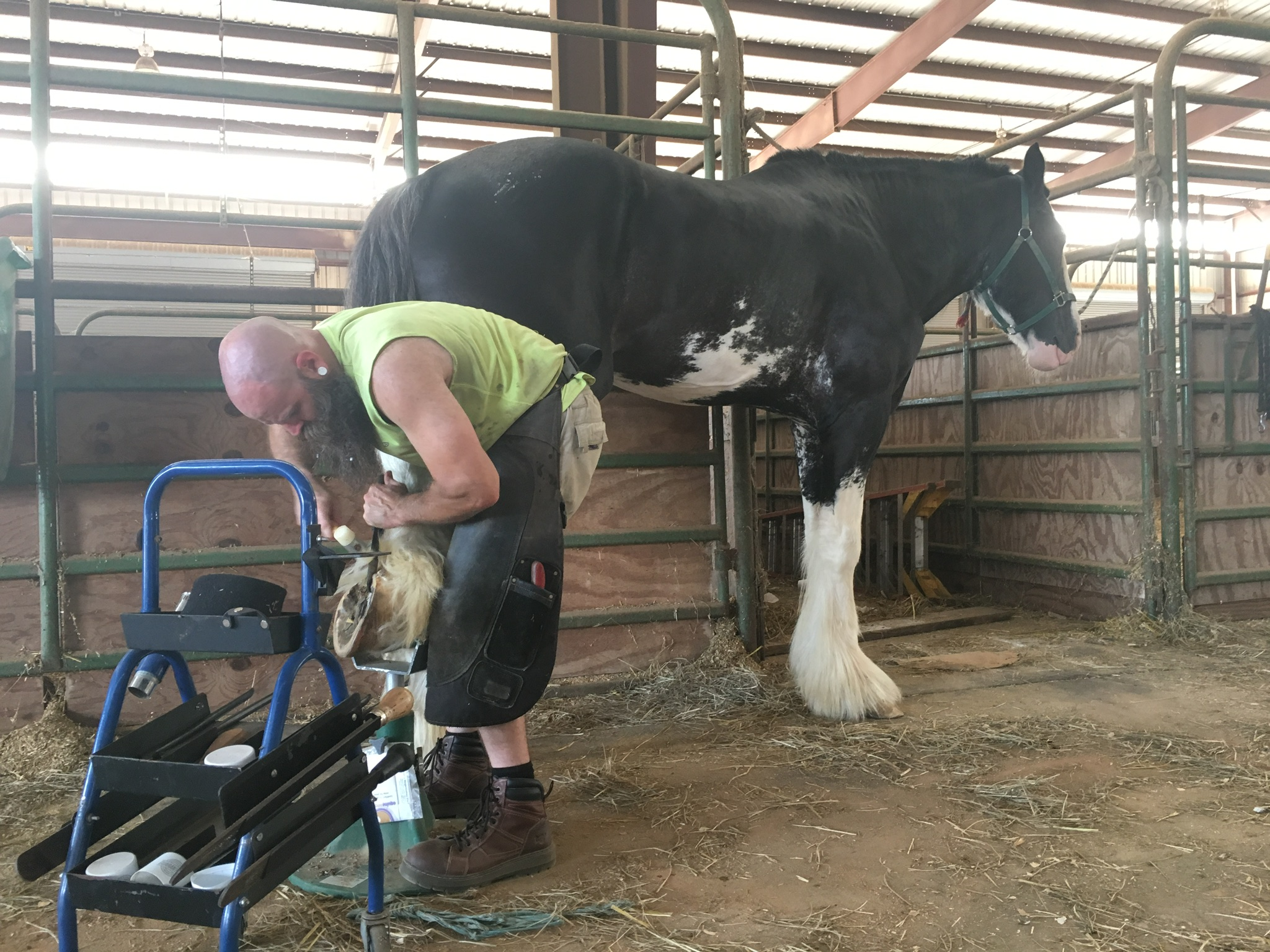 Trimming a Clydesdale stud